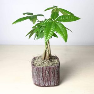 Money Tree/Pachira Aquatica shown in a bark textured pot.